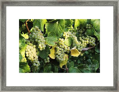 Chardonnay Grapes Framed Print by Greg Vaughn - Printscapes