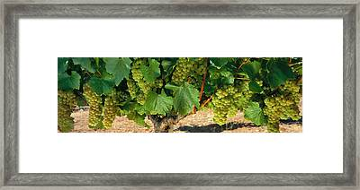 Chardonnay Grapes On The Vine, Napa Framed Print by Panoramic Images