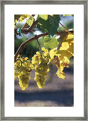 Chardonnay Grapes On The Vine Framed Print by Rich Reid