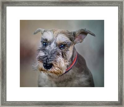 Charlie - Dog Portrait - Schnauzer Framed Print