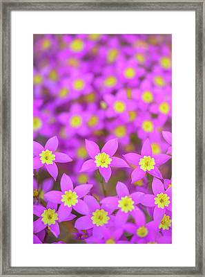 Framed Print featuring the photograph Charming Centaury by Alexander Kunz