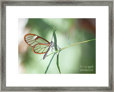 Charming Clear-wing Framed Print