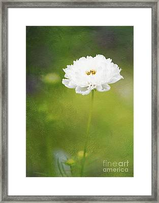 Charming White Cosmos Framed Print