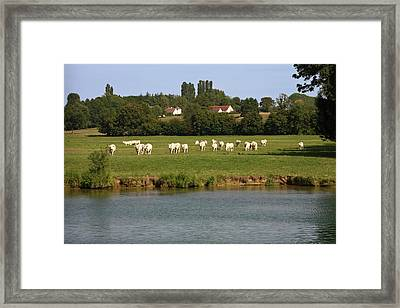 Charolais Beef Cattle Framed Print by Sally Weigand
