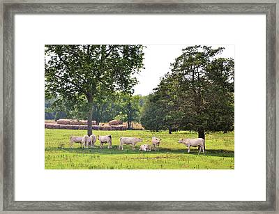 Charolais In The Shade Framed Print