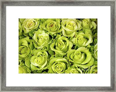 Chartreuse Colored Roses Framed Print