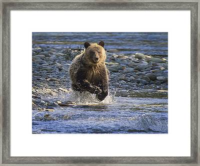 Chasing Salmon Framed Print by Inge Riis McDonald