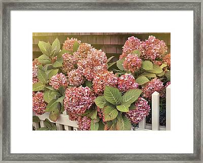 Chatham Mopheads Framed Print by JAMART Photography
