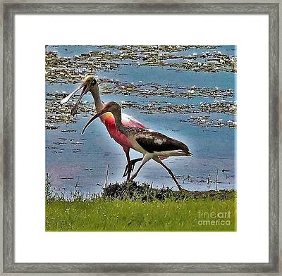 Chatty Cathy Walk And A Talk-roseatte Spoonbill And Limpkin Framed Print by Diann Fisher