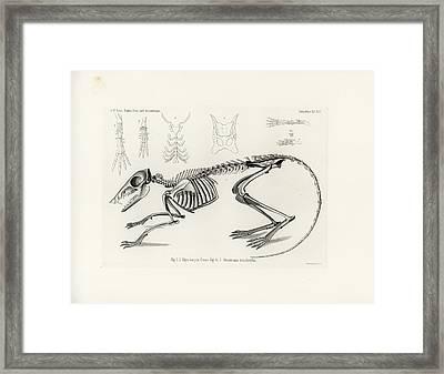 Checkered Elephant Shrew Skeleton Framed Print