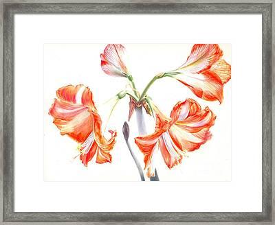 Cheery Amaryllis  Framed Print