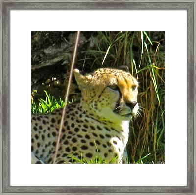Cheetah   Face Framed Print by Debra     Vatalaro