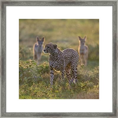 Cheetah Acinonyx Jubatus And Jackals Framed Print by Panoramic Images
