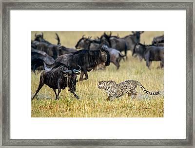 Cheetah Acinonyx Jubatus Chasing Framed Print