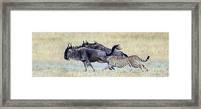 Cheetah Acinonyx Jubatus Hunting Blue Framed Print by Panoramic Images