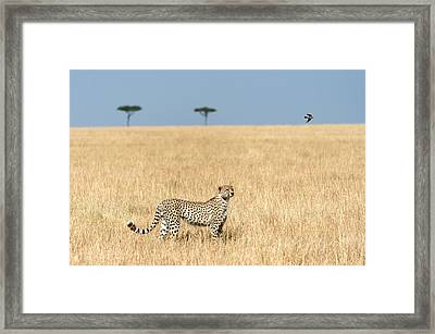 Cheetah Acinonyx Jubatus In Plains Framed Print