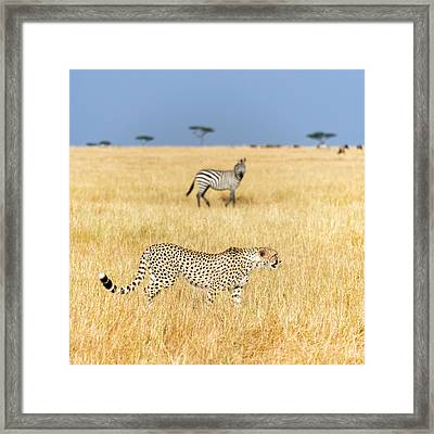 Cheetah Acinonyx Jubatus Looking Framed Print