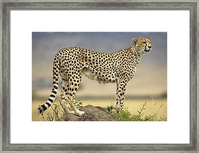 Cheetah Acinonyx Jubatus On Termite Framed Print by Winfried Wisniewski