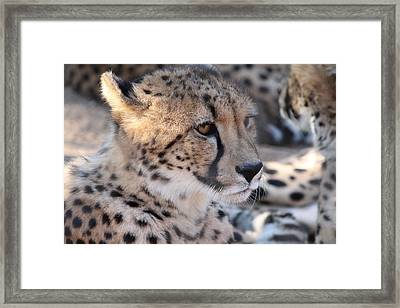 Cheetah And Friends Framed Print