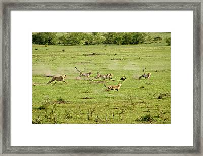 Cheetah Chase Framed Print by Michele Burgess