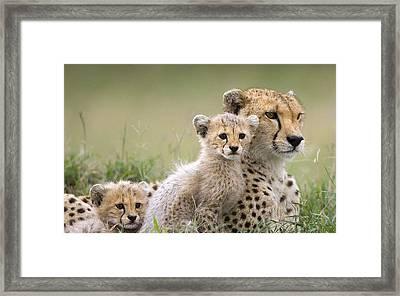 Cheetah Cheetah Family                    Framed Print
