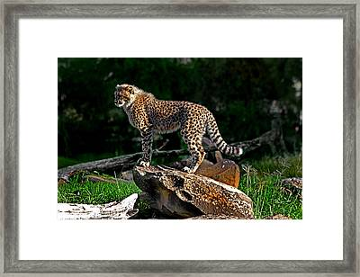 Cheetah Cub Finds Her Pride Rock Framed Print