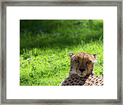 Framed Print featuring the photograph Cheetah Face by Rebecca Cozart