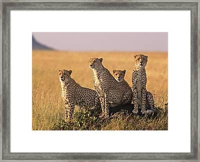 Cheetah Family Framed Print by Johan Elzenga