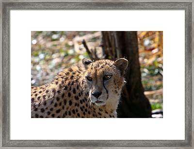 Cheetah Gazing Framed Print by Douglas Barnett