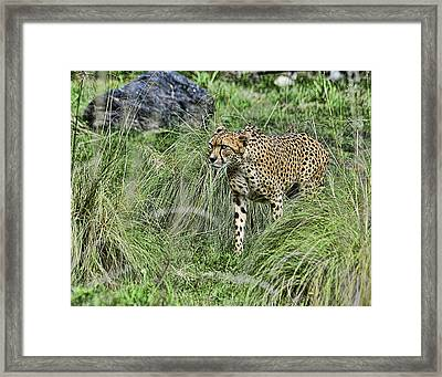 Cheetah Hunting Framed Print