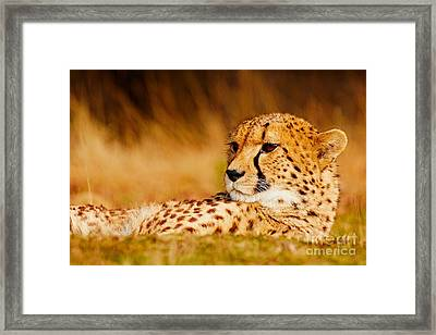 Cheetah In The Savanna Framed Print by Nick Biemans