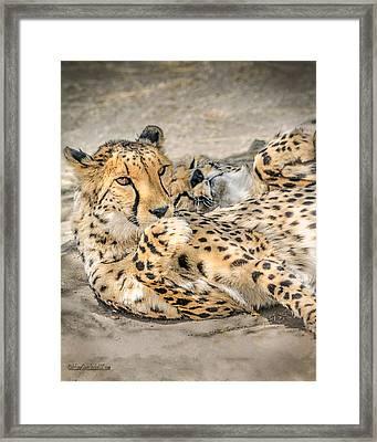 Cheetah Lounge Cats Framed Print