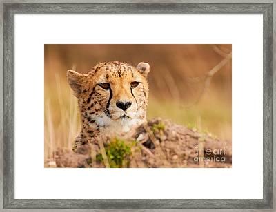 Cheetah Lying Behind A Mound Framed Print by Nick Biemans