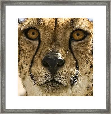 Cheetah Framed Print by Lynn Andrews