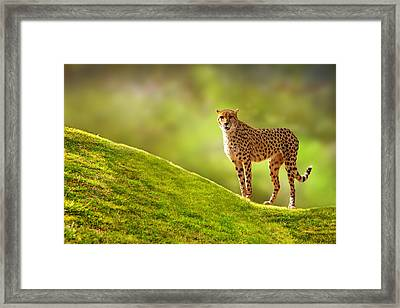 Cheetah On A Hill Framed Print by Susan Schmitz
