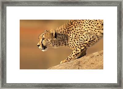Cheetah On Rock Framed Print by Stu  Porter