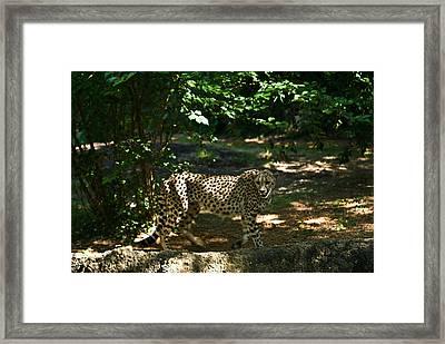 Cheetah On The In The Forest 2 Framed Print by Douglas Barnett