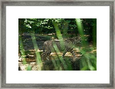 Cheetah On The In The Forest Framed Print by Douglas Barnett