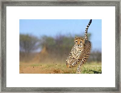 Cheetah, On The Move Framed Print by Thomas Pollart
