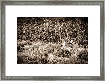 Cheetah On The Prowl - Toned Black And White Namibia Africa Photograph Framed Print