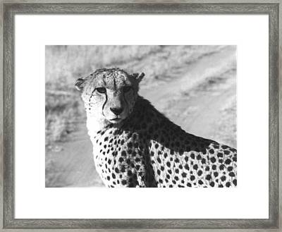 Cheetah Pose Framed Print by Susan Chandler
