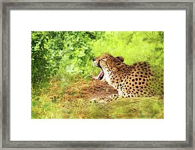 Cheetah Yawning In Woods Framed Print by Susan Schmitz