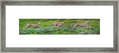Cheetahs Acinonyx Jubatus Hunting Framed Print by Panoramic Images