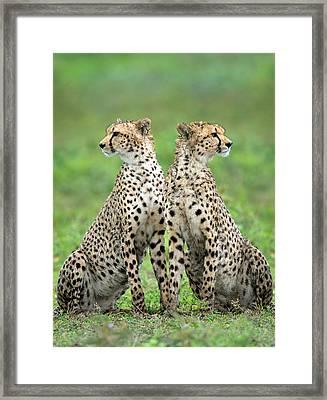 Cheetahs Acinonyx Jubatus In Forest Framed Print