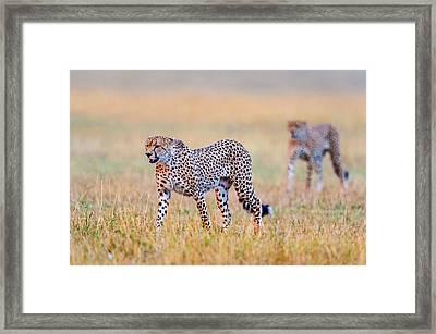 Cheetahs Acinonyx Jubatus Walking Framed Print