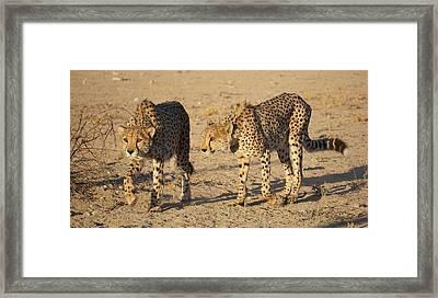 Cheetahs Framed Print