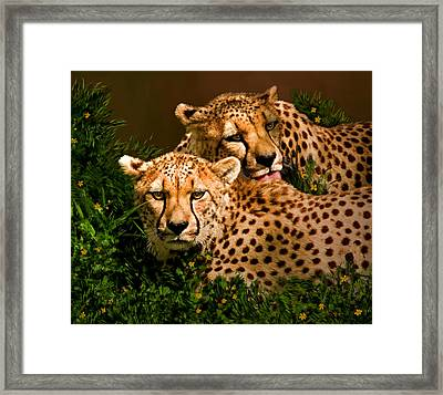 Cheetahs  Framed Print by Thanh Thuy Nguyen