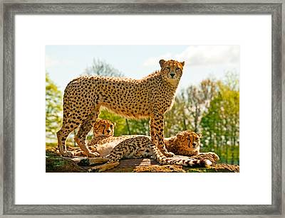 Cheetahs Three Framed Print