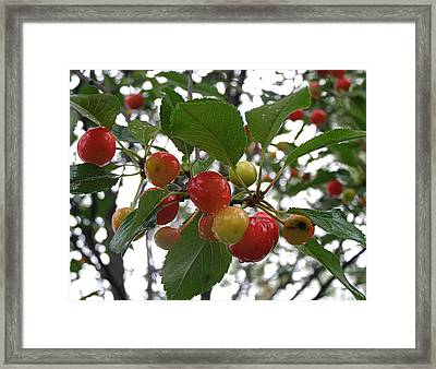 Framed Print featuring the photograph Cherries In The Morning Rain by Angie Rea