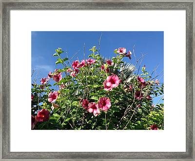Cherries Jubilee Allamanda Framed Print by Aimee L Maher Photography and Art Visit ALMGallerydotcom